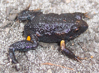 Unkenreflex - A dusky toadlet displaying patches normally concealed