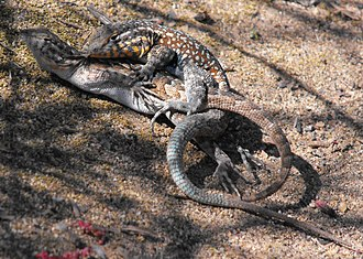 Common side-blotched lizard - Common side-blotched lizards mating