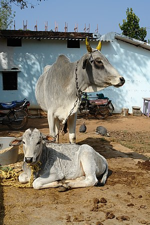 English: Cow and calf, Katni, MP, India. Franç...