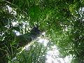 Vegetación de la Reserva de la Biosfera La Amistad Panama (RBLAP) 28.JPG