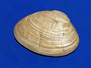 Paphia - Fossil valve of Paphia vetula from Pliocene of Italy