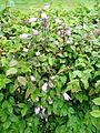 Verge flowers in a hedge.JPG