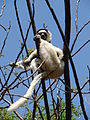Verreauxs Sifaka , Isalo National Park (3953339467).jpg