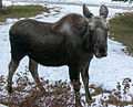 Very young moose checking me out.jpg