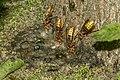Vespa crabro02(js), Lodz(Poland).jpg