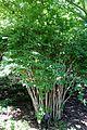 Viburnum farreri - VanDusen Botanical Garden - Vancouver, BC - DSC06983.jpg