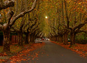Victoria Avenue, Canterbury is one of many London Plane Tree lined streets in Melbourne.