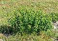 Vincetoxicum hirundinaria in Aveyron (3).jpg