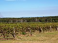 Vineyard in the Hunter Valley (02).jpg
