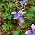 Viola anagae Tenerife 3.jpg