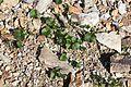 Viola crassa subsp. alpicola (leaf).jpg