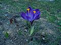Violette Krokusblüten2.jpg