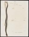 Vipera berus - 1700-1880 - Print - Iconographia Zoologica - Special Collections University of Amsterdam - UBA01 IZ11400239.tif