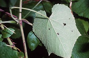 Description de l'image Vitis_cinerea_(USDA).jpg.