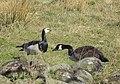 Vitkindad Gås Barnacle Goose (13642258184).jpg