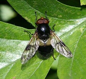 Volucella pellucens - Volucella pellucens, Male