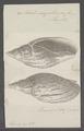 Voluta magellanica - - Print - Iconographia Zoologica - Special Collections University of Amsterdam - UBAINV0274 087 04 0029.tif