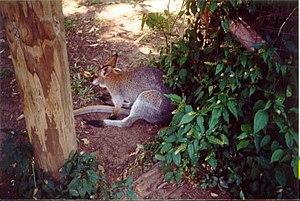Gondwana Rainforest Sanctuary - Wallaby at Gondwana Rainforest Sanctuary