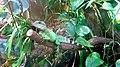 Wasseragame (Physignathus cocincinus).jpg