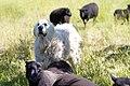 Watching the sheep (5873281664).jpg
