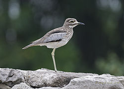 Water Thick-knee.jpg