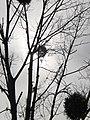 Weather in Germany (Marburg), soft sun in spring 2018, March 15 behind tree with mistletoe (viscum album).jpg
