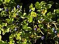 Wechsel - Heidelbeeren - Vaccinium myrtillus.jpg