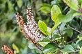 Weinmannia racemosa in West Coast Region 02.jpg