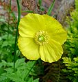 Welsh Poppy. Meconopsis cambrica - Flickr - gailhampshire.jpg