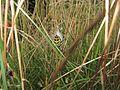 Wespenspinne in Wesel.jpg