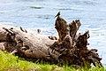 Western wood peewee (Contopus sordidulus) perched on a log near the Yellowstone River (42879547832).jpg