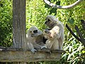 White-Handed Gibbon - Lagos Zoo - The Algarve, Portugal (1735410357).jpg