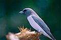 White-breasted Woodswallow (Artamus leucorhynchus) (9743585170).jpg