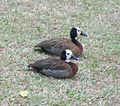White-faced ducks.JPG