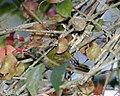 White-flanked Sunbird (Aethopyga eximia) - Flickr - Lip Kee (1).jpg