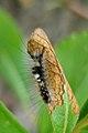 White-marked Tussock Moth (Orgyia leucostigma) Larva - Thunder Bay, Ontario.jpg