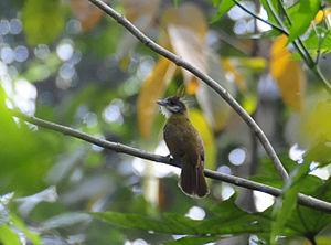 White-throated Bulbul (Alophoixus flaveolus) in tree, from behind.jpg