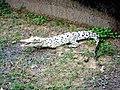 White Crocodile at Bhitarkanika National Park.jpg