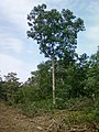 White Oak on Nymore soils Chisago County 2012.jpg