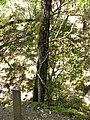 White alder in uvas canyon.jpg
