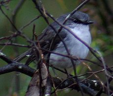 White breasted Robin MR 1 email.jpg