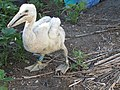 White pelican chick (5673476411).jpg