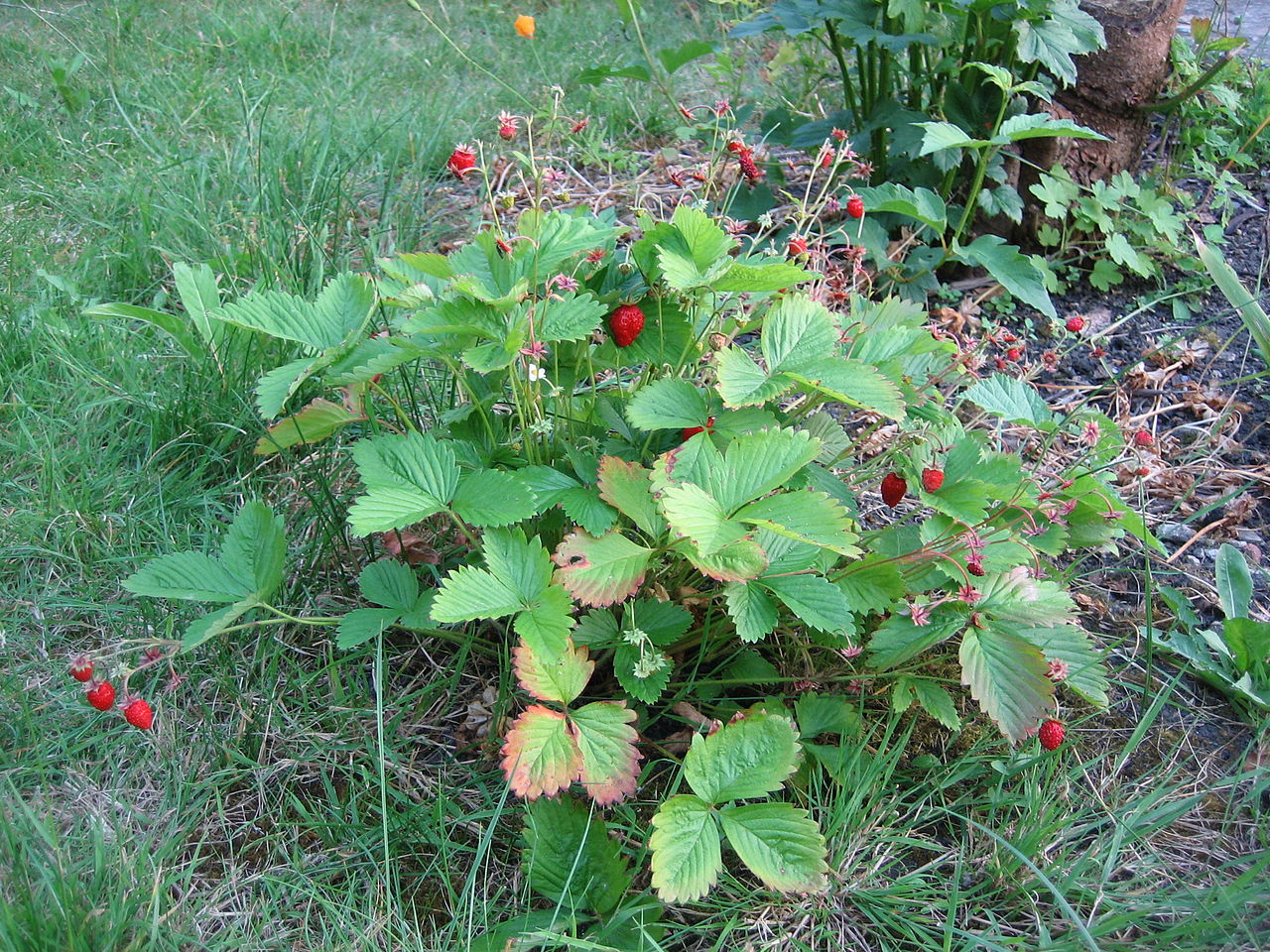 File:Whole wild strawberry plant UK 2006.JPG - Wikimedia Commons