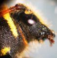 Widderbock (Clytus arietis),01.JPG