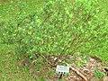 Wikstroemia pulcherrima in Lyon Arboretum.jpg