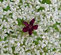 Wild Carrot flower. Daucus carota - Flickr - gailhampshire.jpg