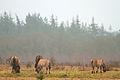 Wild horses (4336844305) (2).jpg