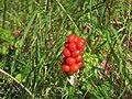 Wildberries by Wealdway - geograph.org.uk - 2521510.jpg