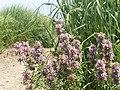 Wildflower P7160074.jpg