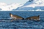 Wilhelmina Bay Antarctica Humpback Whale 5 (32394708687).jpg